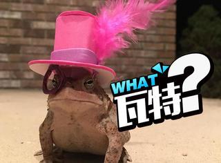 他给一只蟾蜍亲手做了好几顶帽子,脑洞也是有点清奇