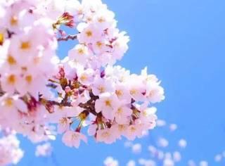 很负责的告诉你,只要赶上了这趟车,就能看遍半个日本的樱花!