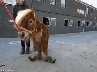 十年没有修剪过马蹄的雪特兰矮种马