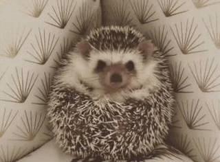 世界上最萌的动物明明是刺猬啊,看完这只微笑的刺猬宝宝所有的坏心情都退散。。