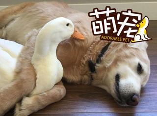 跨越种族的爱情,大金毛和鸭子要发狗粮了