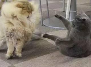 两只猫原本经常打架,当其中一只剃了毛之后...