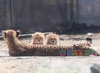 据说,这是猫科最新的品种,非长豹,厉害了连我都没有听说过...
