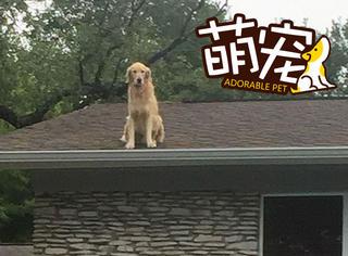 这只狗真是绝了,喜欢跳上屋顶看风景
