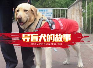 导盲犬芒果:我是你的眼