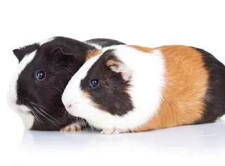 如何饲养豚鼠