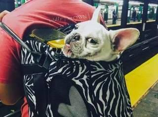 地铁上不让带狗狗?哼我才不会这么轻易地狗带!