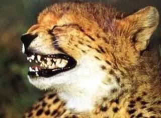 大猫太害羞交不到女友,动物园竟派狗去教它...