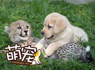 金毛vs猎豹,这对好基友哪个更萌
