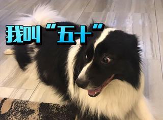 """遇见""""五十"""",一只像VIKI的狗"""