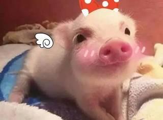 朋友圈配图:听说现在大家都爱上了吸猪???