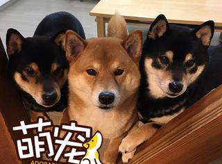黏腻腻的柴犬三兄弟,怎样都要在一起