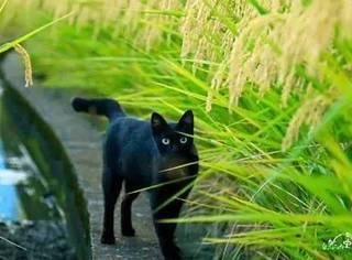 网友拍摄的一组黑猫与水稻照片,堪比大片,帅爆了