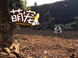 千年一遇,一只长得像足球的猫