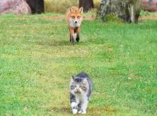 这只狐狸跟在猫后面,结果被猫发现后...