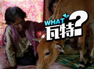 柬埔寨老妇人嫁给一头牛,与恋物癖无关而是因为爱情