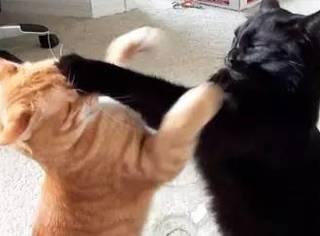 大猫打架和小猫打架的区别,最后笑喷了... 