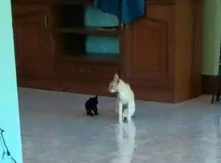 网友给家里的橘猫找了一个小黑猫作伴,结果一年之后...