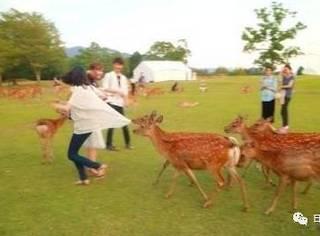 日本奈良的鹿匪究竟有多流氓?政府都坐不住了……