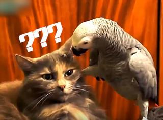 【GIF】当猫遇到鹦鹉:这贱气真的熏瞎了朕的眼!