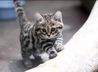 又萌又小的黑足猫,竟能干掉一只长颈鹿?!