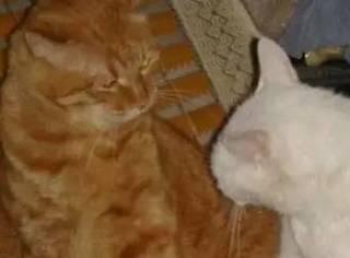 两猫打架,主人拍到这一幕,让人笑喷了...