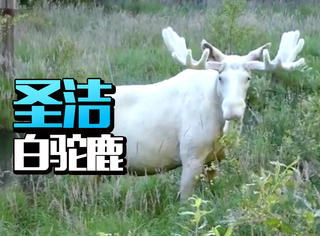 瑞典摄影师寻找3年,终于拍到象征圣洁的白色麋鹿