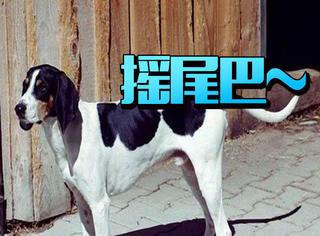 你知道狗狗尾巴的不同姿势是什么意思吗?