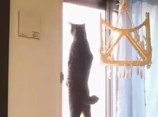 网友拍到自家猫站着看窗外的背影,瞬间被它给帅到了
