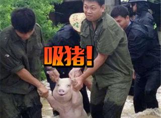 继吸猫吸狗之后又开始流行吸猪,这只中国网红猪竟然红到了国外