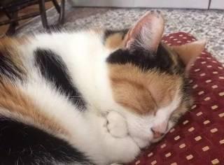 这只猫睡觉时喜欢双爪交叉放在胸前,这模样萌炸人了...