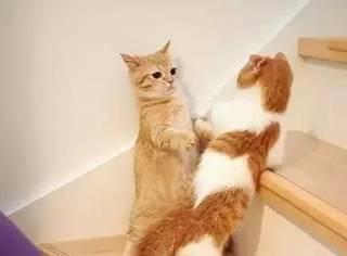 这两只短腿橘猫和橘白猫萌得不行,让人看得心都化了