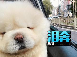 Ins最萌网红狗Puffie去世了,生前的样子超可爱