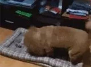 狗狗发现床被猫给霸占了,想抢回来没成功,最后...