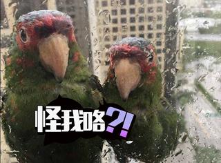 4级飓风突袭美国,然后这两只呆萌鹦鹉被传遍了网络