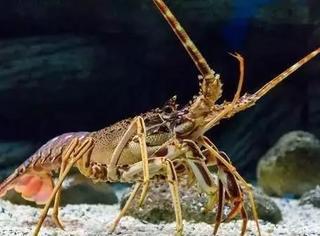 """法国和巴西曾经为了龙虾究竟是跳着走还是爬着走而差点发动战争,史称""""龙虾大战""""。。"""