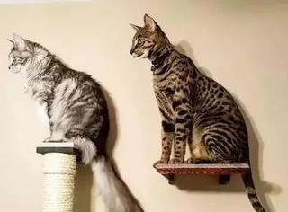 这两猫一只靠尾巴,一只靠身高不但拿了吉尼斯世界纪录,而且...