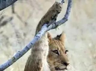 摄影师在非洲拍到了一头被卡爪的小狮子,这表情张张笑喷了...