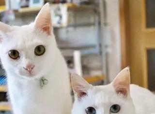 这两只猫平时挺正常的,但一到打架时间之后,哈哈疯了疯了...