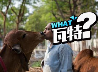 真爱,印度大叔放弃妻子只为和牛一起生活