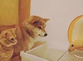 网友养了一只橘猫和一只柴柴,有天,它们家又添了一只仓鼠后...