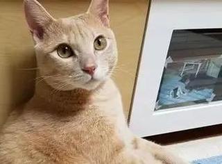 这只橘猫平时看起来不胖,自从主人买了这个爬架后...