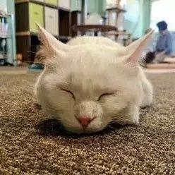 推主家白猫,睡觉时喜欢挺得直直的,最后那角度简直魔性...