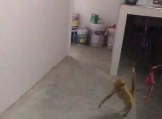 主人向小橘猫抛出它心爱的玩具球后,它的反应让人笑喷了...