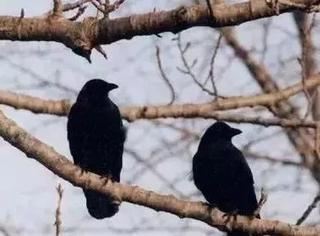这只乌鸦正在吃盘子上的剩饭…它接下来做出的事情令人类惊讶!