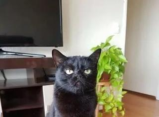 主人用黑猫掉的毛,给捏了个它的模型,黑猫看到后...