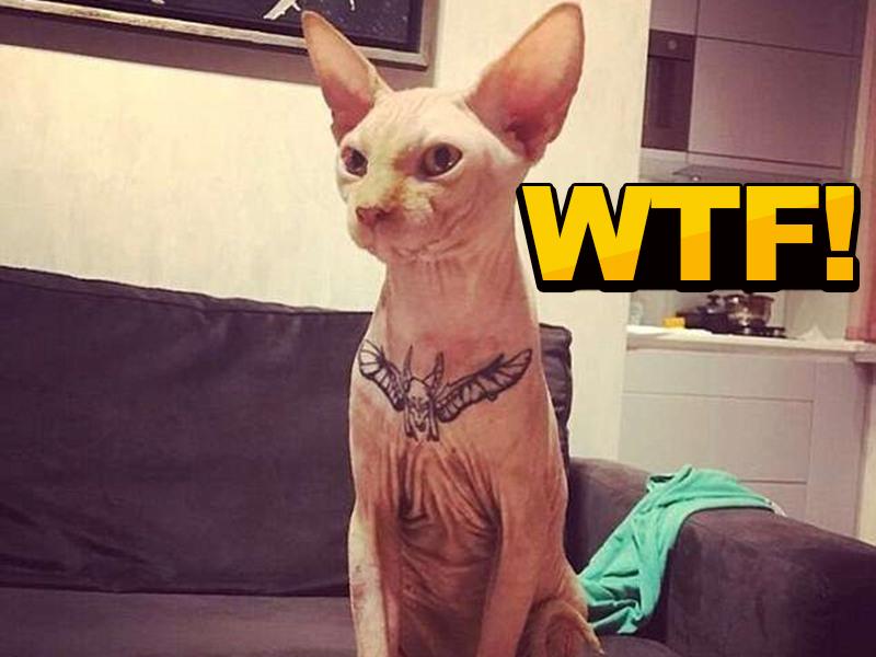 elena的宠物是一只无毛的斯芬克斯猫yasha,平时她对这只猫特别地宠爱