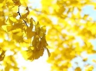 拍漂亮银杏,要去对地方,找对思路