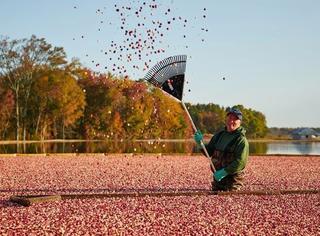 """北美蔓越莓收获季来了!你肯定没见过这片绝美的""""红色海洋"""""""