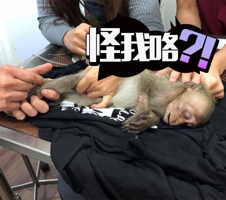 当小偷容易么?小猴子因口渴偷喝游客的咖啡,晕了10个小时